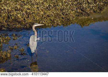 Great Blue Heron In Coastal Salt Marsh At Low Tide In Huntington Beach State Park In Murrells Inlet,