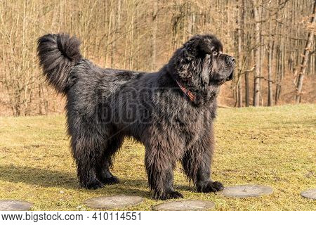 Big Black Dog. Newfoundland Dog Breed In An Outdoor. Spring Walk With A Dog. Water Rescue Dog.