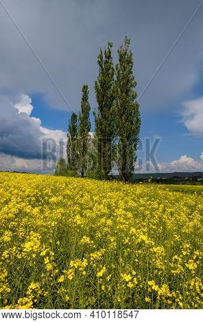 High Poplar Trees Group In Spring Rapeseed Yellow Blooming Fields View, Blue Sky With Clouds In Sunl