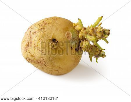 Shriveled Sprouted Potato Isolated On White Background. One Seed Tuber With Sprouts Macro. Vegetable