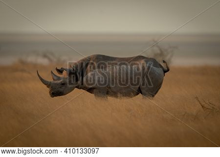White Rhino Stands On Savannah In Profile