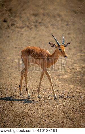 Young Male Common Impala Walks In Sunshine