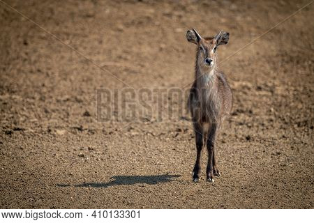 Young Male Common Waterbuck Stands Casting Shadow