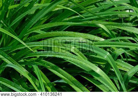 Lily Leaves Background. Green Leaves With Water Droplets Shimmering In The Sun. Elongated Leaves, Bu