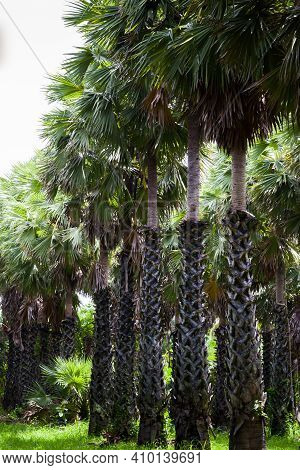 Toddy Palm Tree On Farm At Day Time