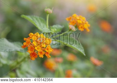 Orange And Yellow West Indian Lantana Bloom In The Garden On Blur Nature Background. Is A Thai Herb.