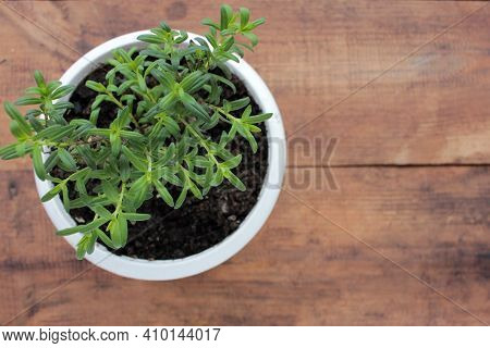 Anise Hyssop Perennial Plant In White Pot On Wooden Table. Growing Herbs In Balcony Garden Or On Win