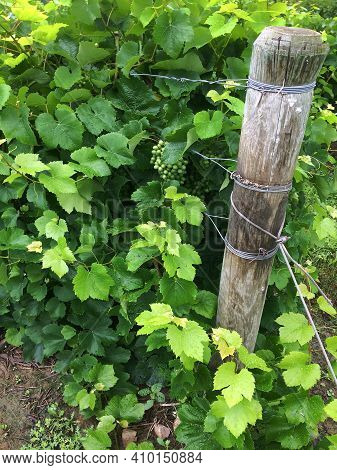 Grape Vines, Grapes And Vine Post Are Shown At The End Or A Vine Row, Seneca, County New York In The