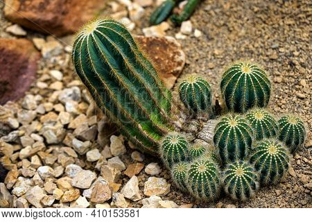 Close-up Of Green Cactus Plants With Sharp Spines. Macro Photography Of Nature.