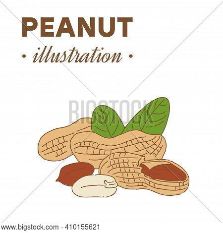 Hand Drawn Peanut In Color. Single, Group Seeds, Peanut In Nutshells Group. Organic Nut, Vector Dood