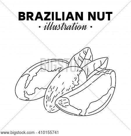 Hand Drawn Brazilian Nut. Single, Group Seeds, Brazilian Nut In Nutshells Group. Organic Nut, Vector
