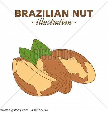 Hand Drawn Brazilian Nut In Color. Single, Group Seeds, Brazilian Nut In Nutshells Group. Organic Nu