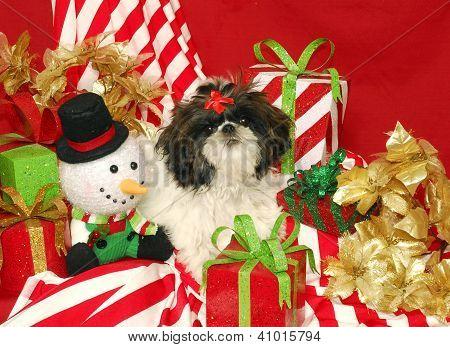 A Shih Tzu And Christmas Presents