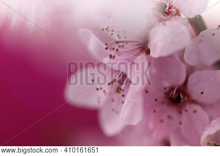 Cherry Blossoms In Springtime. Cherry Pink Flowers In Close-up On A Blurred Pink Background. Spring