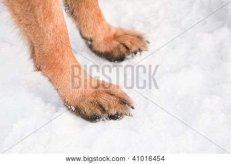 Two yellow dog's feet on white snow poster