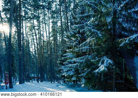 Tall Pine Trees Covered With Snow In A Beautiful Winter Forest. The Sun Shines Through The Snow-cove