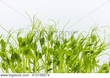 Microgreens Harvesting Background. Microgreen Peas In Tray For Healthy Eating. Fresh Pea Sprouts Iso