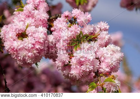 Japanese Cherry Blossom On The Branch. Beautiful Close Up Nature Background In Springtime On Sunny D