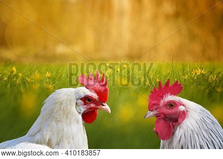White Hen And White Rooster. Chicken, Poultry. Farm Animals. Fowl Outdoors. Free Range Chickens. Chi