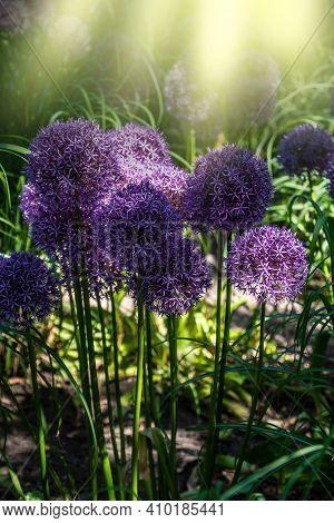Bright And Showy Allium Giganteum Flowers Close Up. Vivid Giant Balls Of Blooming Allium Flowers. Co