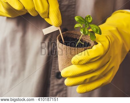 Man In Yellow Rubber Gloves Holds Basil Seedling In Peat Pot. Spring Sale In Mall And Flower Shops.