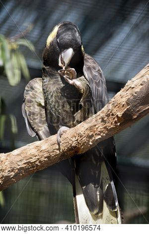 The Yellow Tailed Black Cockatoo Is Eating A Nut