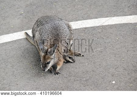 The Tammar Wallaby Is Mostly Grey With A White Stripe On Its Face