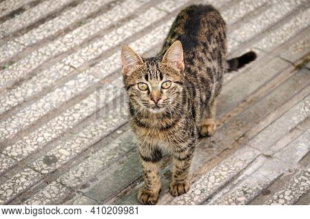 Top View Of A Tabby Street Cat Looking At The Camera.