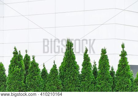 Row Of Thuja Trees At White Wall  Background. Green Hedge. Empty Place For Text, Copy Space