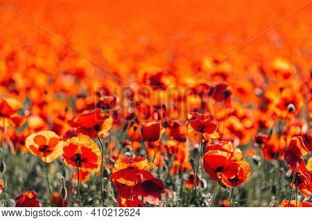 Large Field With Red Poppies And Green Grass At Sunset. Beautiful Field Scarlet Poppies Flowers With
