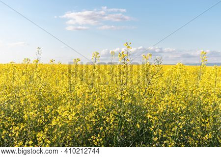 Summer Landscape With Yellow Oilseed Rapeseed Flowers Field And Blue Sky