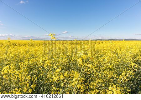 Oilseed Rape Blossoms On Yellow Rapesees Field. Canola Cultivated Agricultural Field