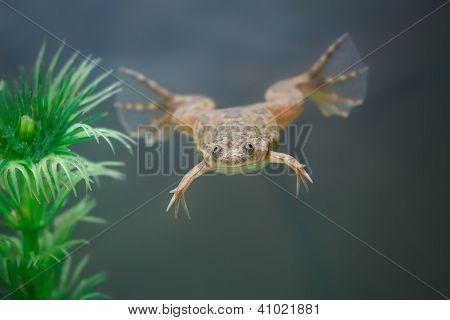 Exotic Yellow  Frog Swim In An Aquarium