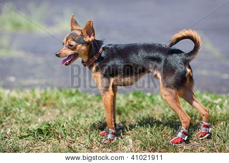 Chihuahua In Sneakers