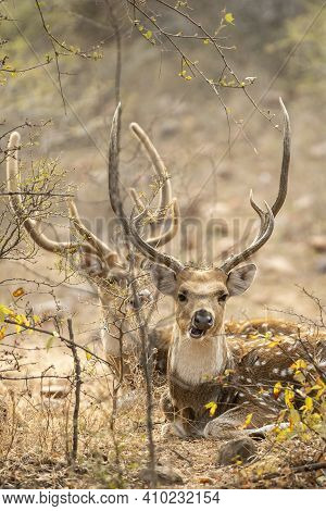 Head Shot Of Male Spotted Deer Or Chital Or Axis Axis In Outdoor Animal Wildlife Safari At Ranthambo