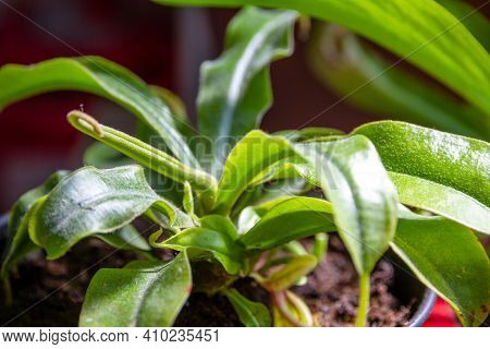 Nepenthes Carnivorous Plant. Close Up View Background