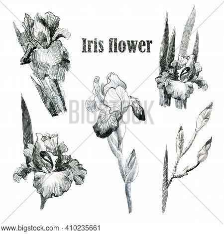 Illustration Pencil. Iris Flowers. Freehand Drawing. Iris Branches. Iris Leaves Set.