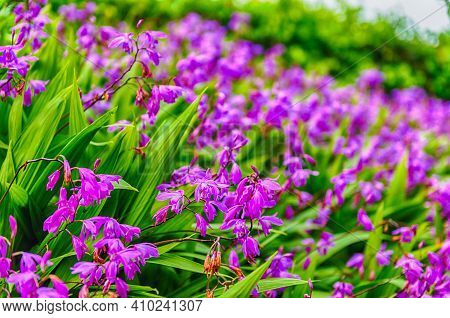 Purple Flowers Closeup On Green Garden Background On A Sunny Day With A Beautiful Selective Focus An