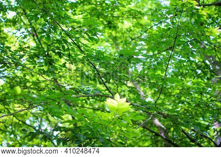 Green Leaves In The Forest. Beautiful Nature Background.