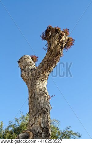 Old Dry Tree Trunk With Fresh New Leaves In Front Of Blue Sky In Springtime