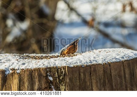Nuthatch Woodpecker Tit Sits On A Snow-covered Log In Winter. Bird In Sunshine With Blue Orange Yell