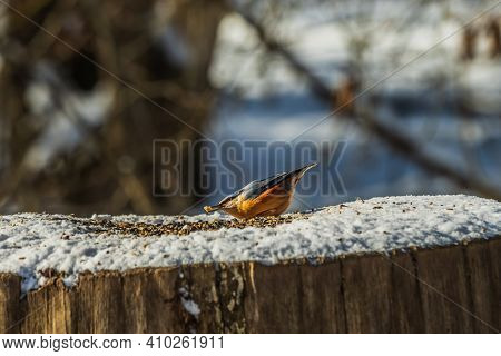 Nuthatch Woodpecker Bends Over Cereal Grains In The Snow. Bird With Grain In Its Beak. Tree Trunk In