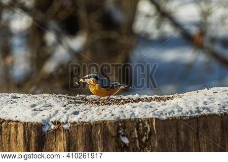 Bird Woodpecker Tit In Winter. Snow-covered Tree Stump With Nuthatch Bird In Sunshine. Wild Animal W