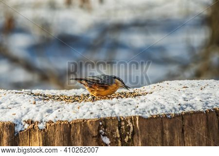 Woodpecker Nuthatch In Winter. Snow-covered Tree Trunk In Sunshine. Cereal Grains On The Snow. Bird