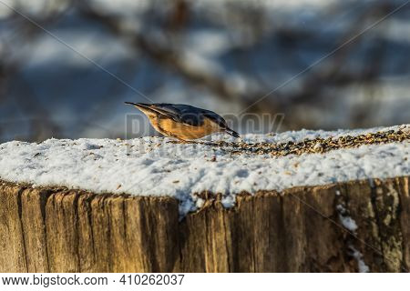 Nuthatch In Winter In Sunshine. Bird With Grain In Its Beak. Woodpecker Tit Stands On Snow-covered T