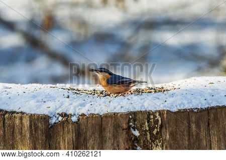 Bird Woodpecker Tit With Gray Blue And Yellow Orange Feathers In Winter. Animal Stands On A Snow-cov