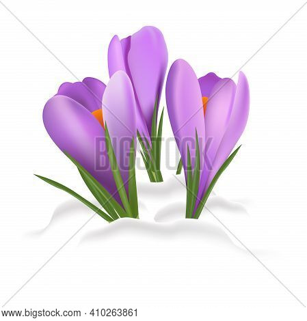 Spring Background With Crocuses. Spring Flowers Crocuses In Spring, Come Out From Under The Snow.