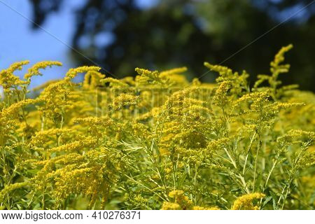 Canadian Goldenrod Yellow Flowers - Latin Name - Solidago Canadensis