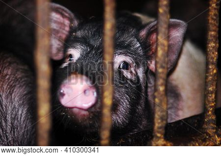 Charming Little Black Colored Furry Pig Behind Metal Bars. Adorable Black Pig Behind Bars. Livestock