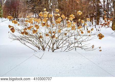 Perennial Plant And Thick Layer Of Snow